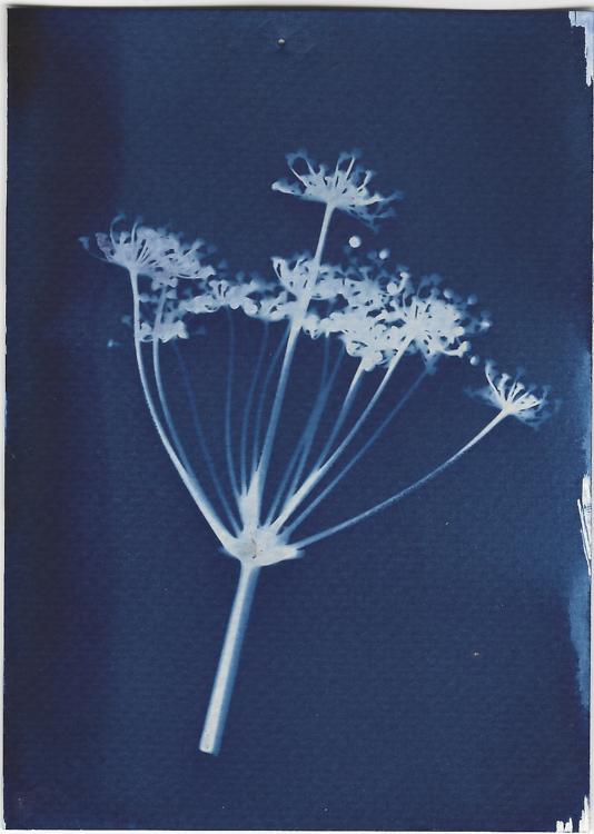 cyanotype print