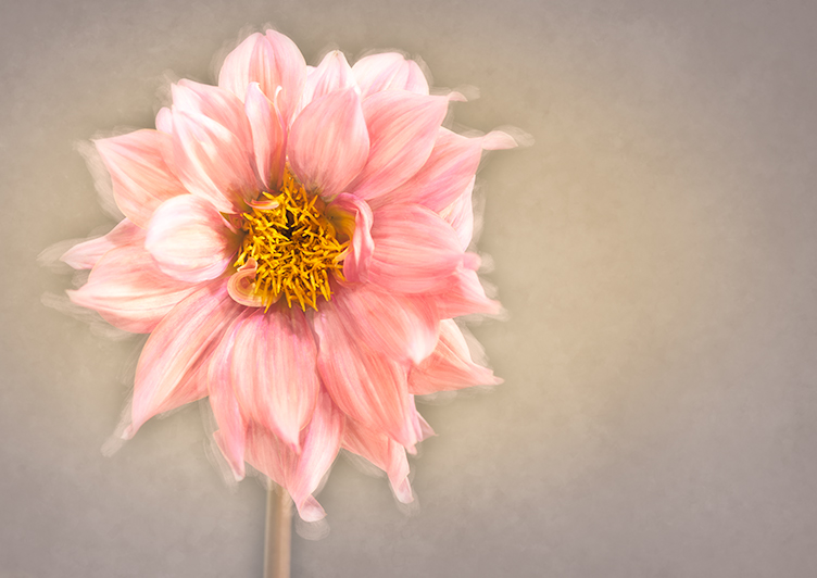 An Ode to The Dahlia!